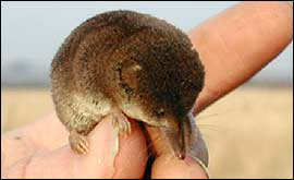 A photograph of a tiny pygmy shrew