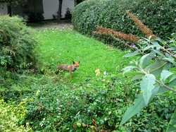 A photograph of a fox in the park near my office