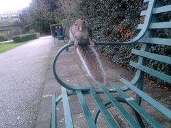 Photo of a squirrel sat on the arm of a park bench, staring at the camera